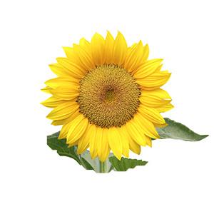 Sonnenblume: Teddybär