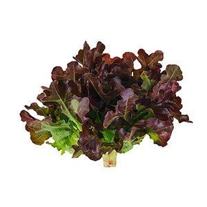 Salat: Eichblattsalat Red Salad Bowl