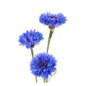 Kornblume: Blauer Junge