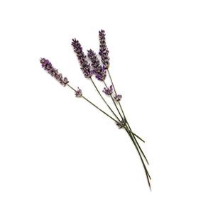Lavendel: Schopflavendel